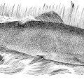 2015-08-16_salmon_lachs_fisch