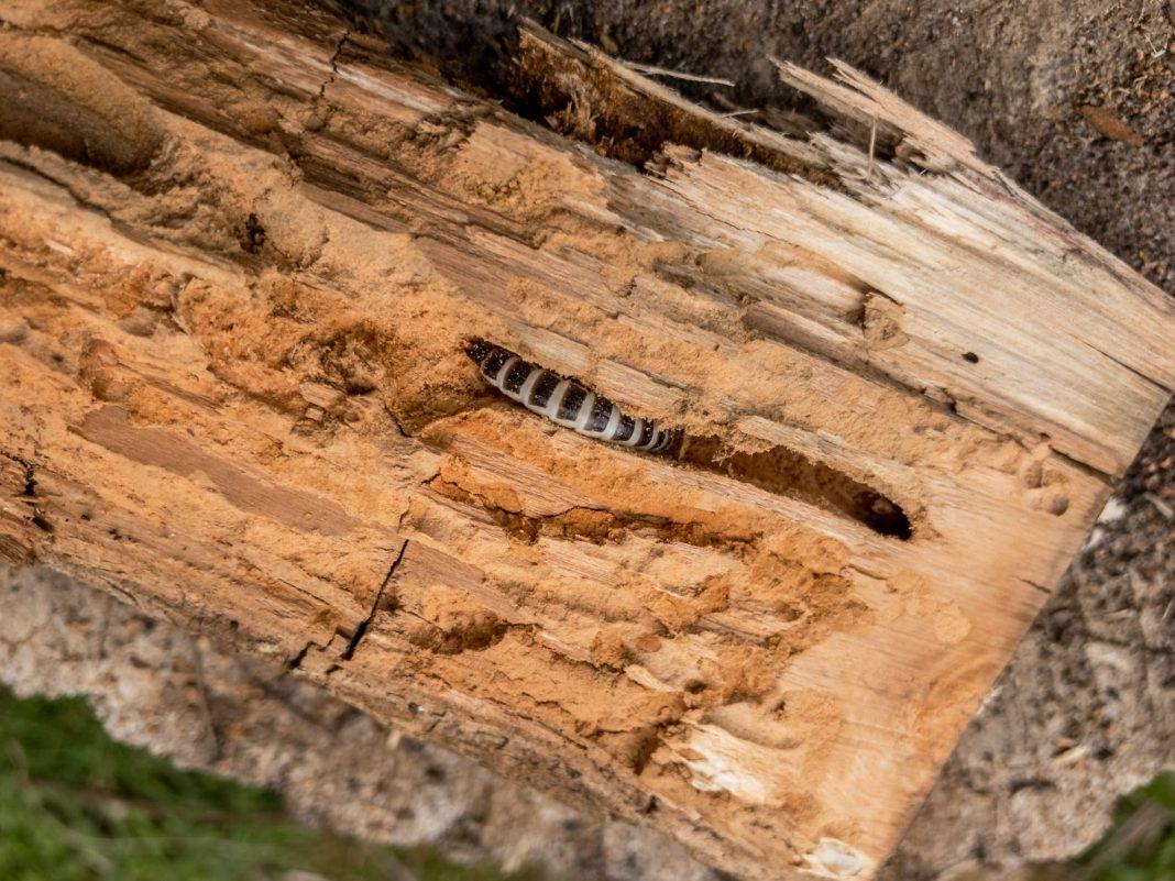 Foto: Ein Holzwurm in Spich