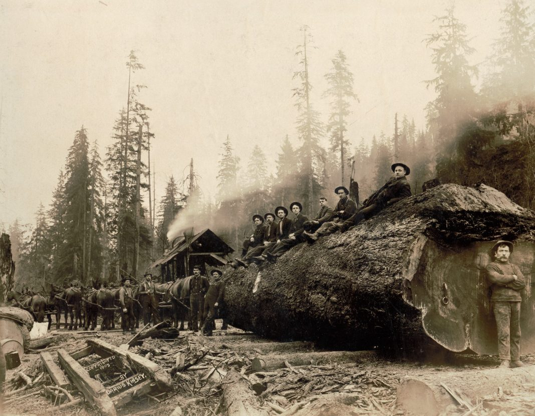 Horses hauling a spruce log 30 feet in circumference, Washington, 1905. (Darius Kinsey/Library of Congress)