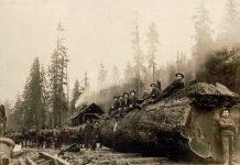 Horses hauling a spruce log 30 feet in circumference, Washington, 1905. (Darius Kinsey/Library of Congress)